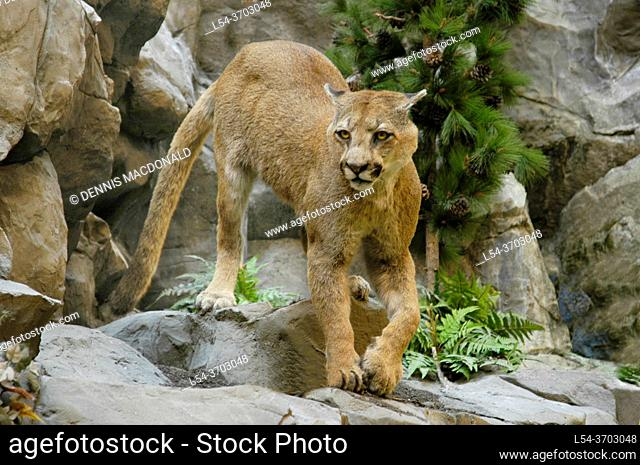 American mountain lion . . cougar, puma, panther, or catamount