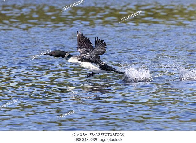 United States, Michigan, Common Loon (Gavia immer), on a lake, taking off