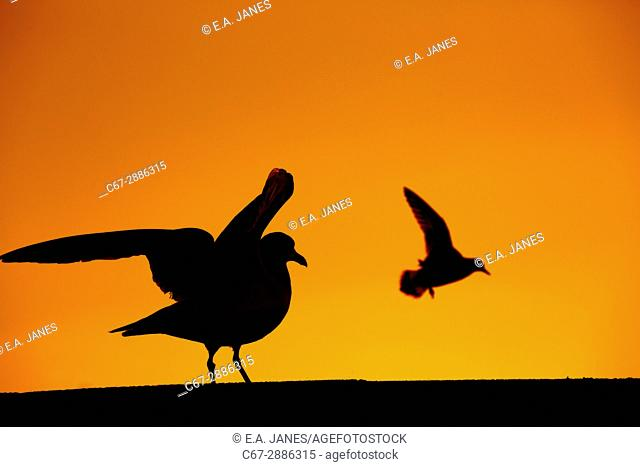 Herring Gull Larus argentatus at sunset sitting on sea wall and flying Turnstone