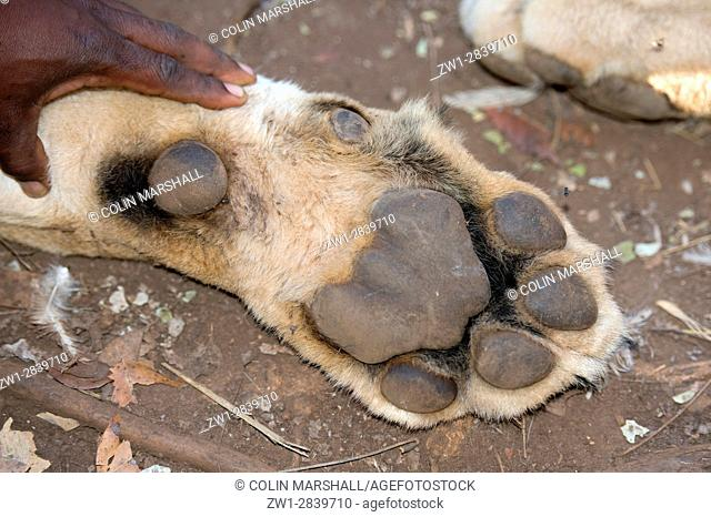 Lion (Panthera leo) paw, Tzaneen Lion and Predator Park, near Tzaneen, Tzaneen district, Limpopo province, South Africa