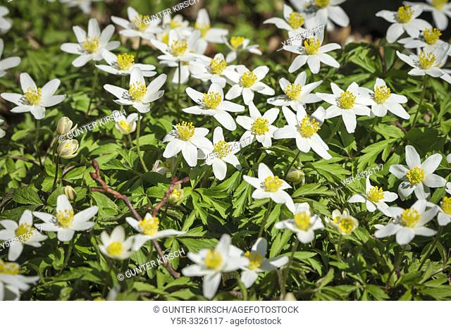 Detail view of wood anemones