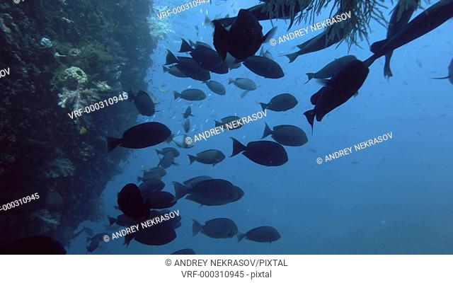 School of Unicornfish and other fish swim in the blue water near the board shipwreck USAT Liberty. Sleek Unicornfish - Naso hexacanthus, Bali, Oceania