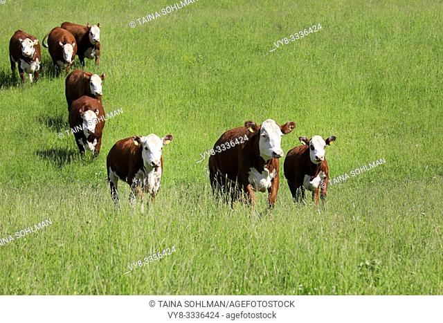 Eight white-brown cows running towards camera on a green grass pasture in summer