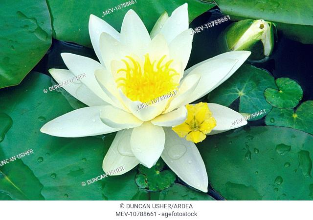 White WATER LILY - In garden pond (Nymphaea alba)