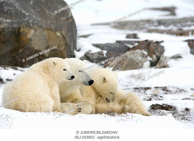 Polar Bear (Ursus maritimus, Thalarctos maritimus). Mother with two cubs resting among boulders on tundra. Hudson Bay, Canada