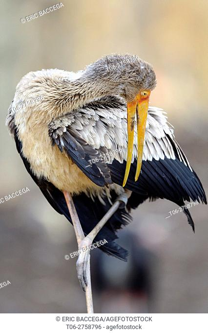Yellow-billed stork preening feathers (Mycteria ibis) captive, Zoo Parc de Beauval, France