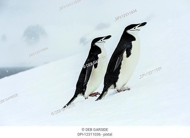 Chinstrap penguins (Pygoscelis antarctica) in a snowfall; Half Moon Island, South Shetlands, Antarctica