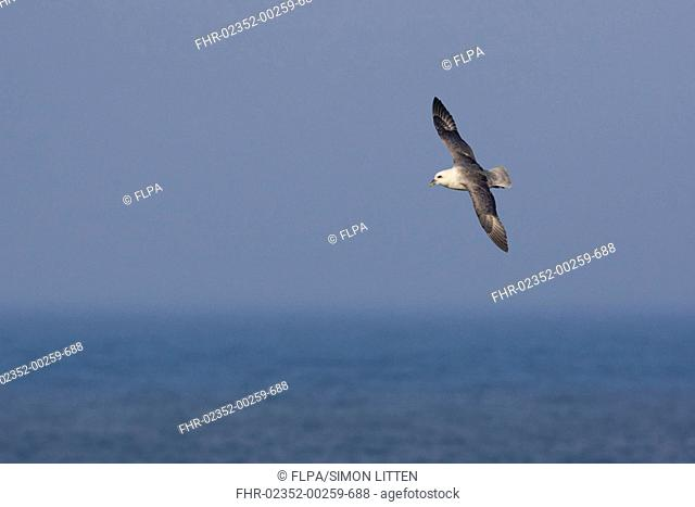 Northern Fulmar Fulmaris glacialis adult, in flight over sea, Northumberland, England