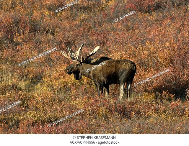 Bull moose Alces alces, Denali National Park, Alaska, United States of America