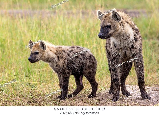 Two Black spotted hyaenas, standing beside each other and one is juvenile and smaller, Masai mara, Kenya, Africa