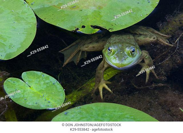 Green frog (Rana clamitans) Loafing among lily pads in Proulx Marsh. Killarney Provincial Park, Ontario, Canada