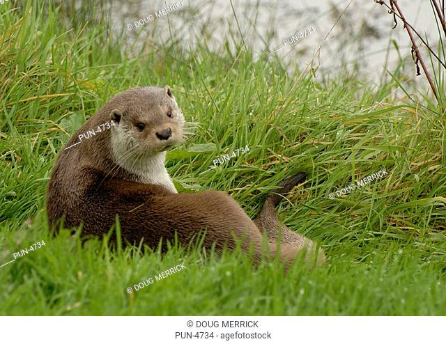 Otter Lutra lutra resting in grass after a bout of feeding