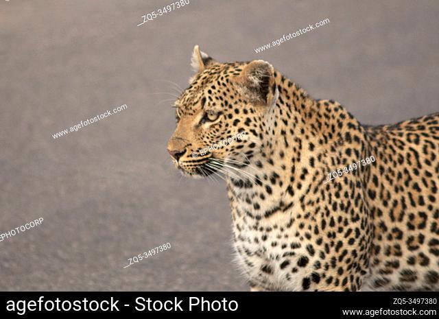 Leopard Panthera pardus, Kruger National Park, South Africa