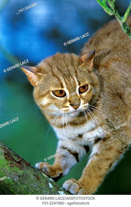 Rusty-Spotted Cat, prionailurus rubiginosus