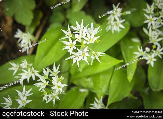 The wild Allium ursinum (known as Bear's Garlic, ramsons, buckrams, wild garlic, broad-leaved garlic, wood garlic) flowering in a garden, Pruhonice