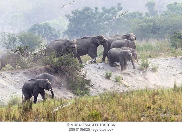 Asia, India, Uttarakhand, Jim Corbett National Park, Asian or Asiatic elephant (Elephas maximus)