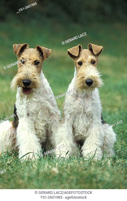 Wire-Haired Fox Terrier, Dogs sitting on Grass
