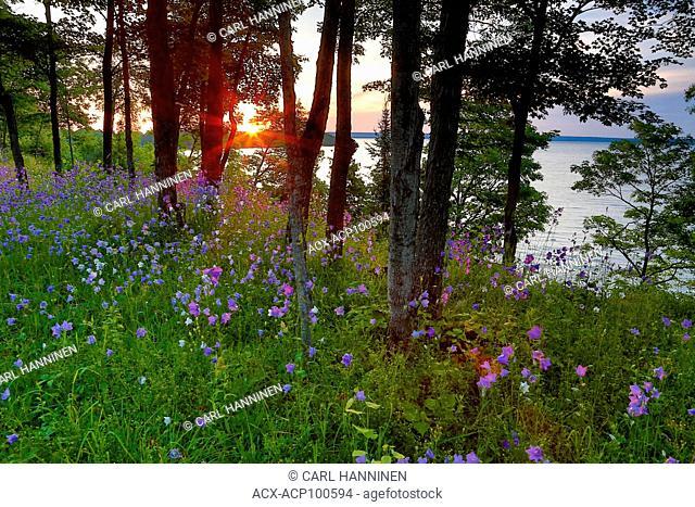 Sunrise and wildflowers near Lake Mindemoya, Manitoulin Island, Ontario, Canada