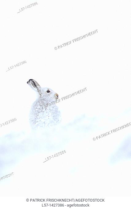 Mountain Hare, Snowshoe Hare, Schneehase, Lepus timidus, Cairngorms NP, Schottland