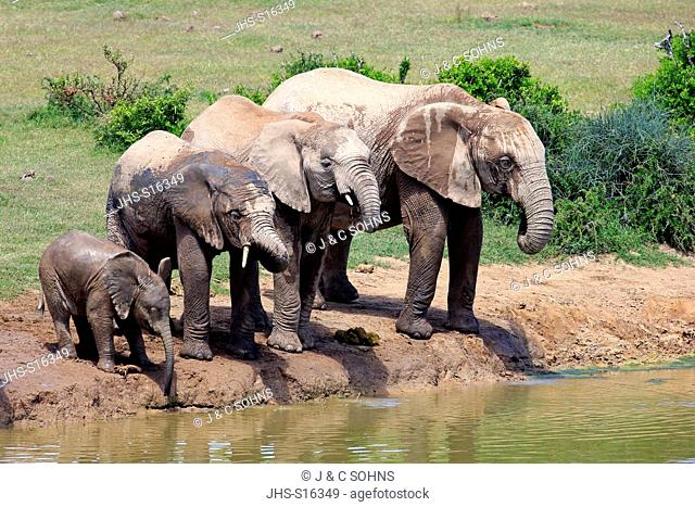 African Elephant, (Loxodonta africana), herd with youngs at waterhole drinking, Addo Elephant Nationalpark, Eastern Cape, South Africa, Africa