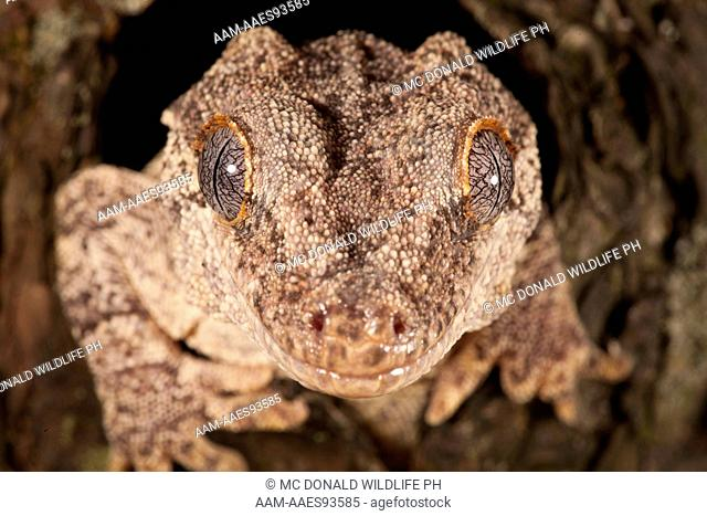 Gargoyle Gecko or New Caledonian Bumpy Gecko (Rhacodactylus auriculatus) New Caledonia. Adult sticking out of hiding hole in tree