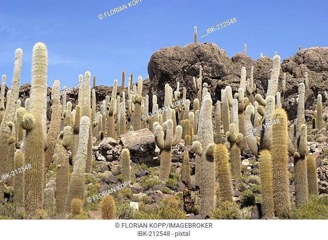 Cactuses (Trichocereus pasacana bzw. Echinopsis atacamensis) on the Isla del Pescado in the salat desert of Uyuni, Salar de Uyuni, Bolivia
