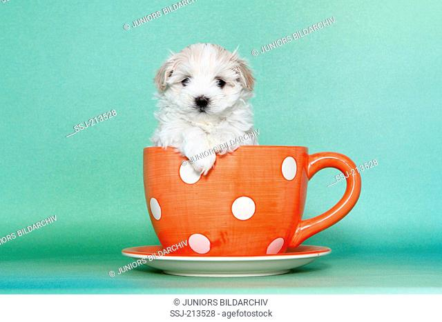Maltipoo (Maltese x Toy Poodle). Puppy sitting in a big red cup with white polka dots. Studio picture against a green background. Germany