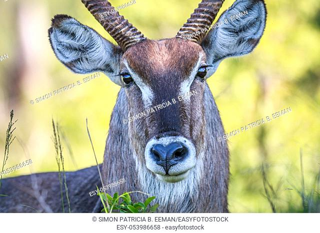 Male Waterbuck starring at the camera in the Kruger National Park, South Africa