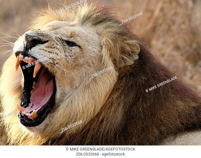 Male lion roaring, Hlane Royal National Park, Swaziland, Africa