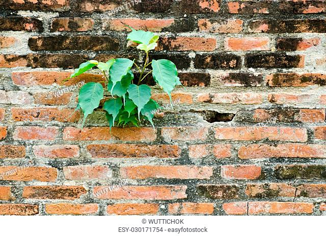 old red brick wall texture in horizontal view and plant