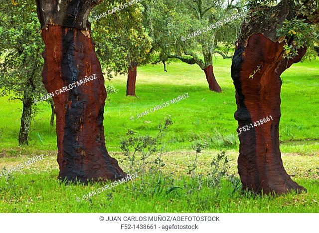 CORK OAK TREE Quercus suber, Monfrague National Park, Caceres, Extremadura, Spain, Europe