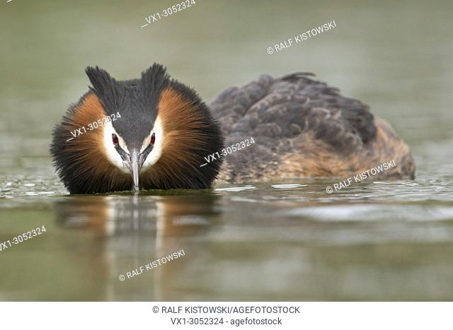 Great Crested Grebe ( Podiceps cristatus ) swims in flatten pose, searching for its partner, courting, frontal shot, eye contact, wildlife, Europe