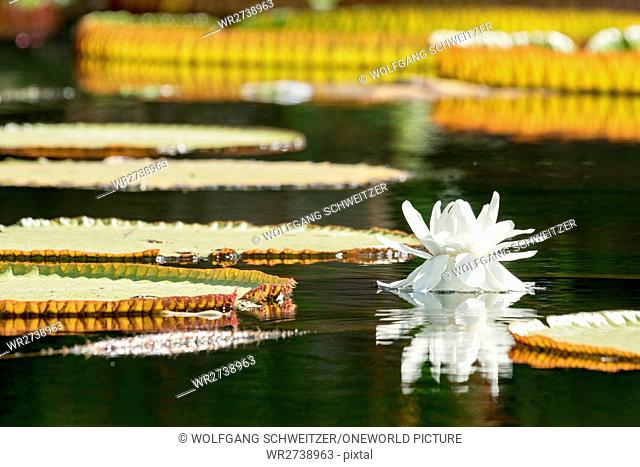 Indonesia, Bali, Karangasem, A flower floating on the water, The water castle Abang on the sea in the Karangasem region