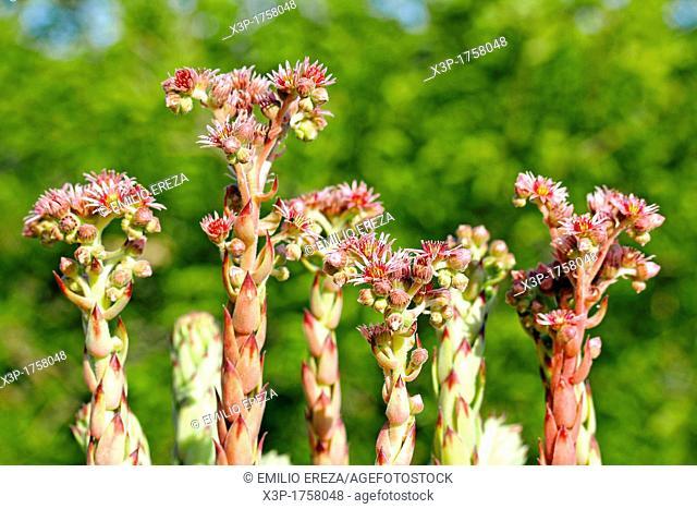 Houseleek  Sempervivum tectorum