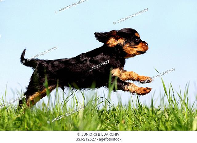Cavalier King Charles Spaniel. Puppy (9 weeks old) running on a meadow. Germany
