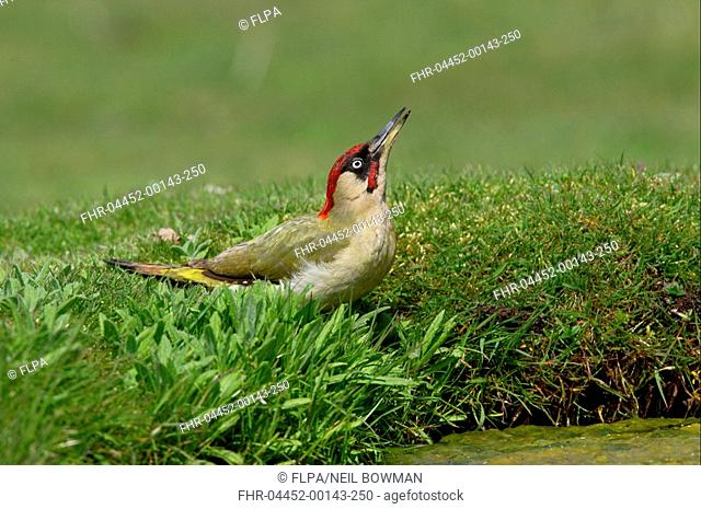 Green Woodpecker Picus viridis adult male, drinking from pond, Norfolk, England, may