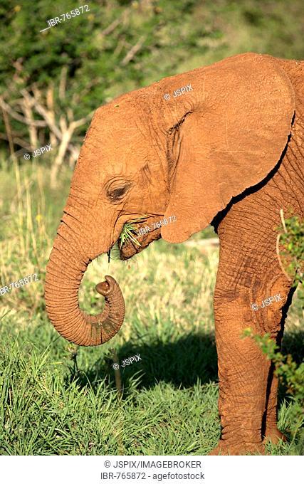 African Bush Elephant (Loxodonta africana), Madikwe National Park, South Africa