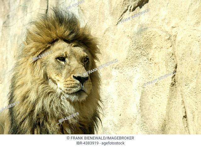 Portrait, male African lion (Panthera leo), captive, Dresden, Saxony, Germany