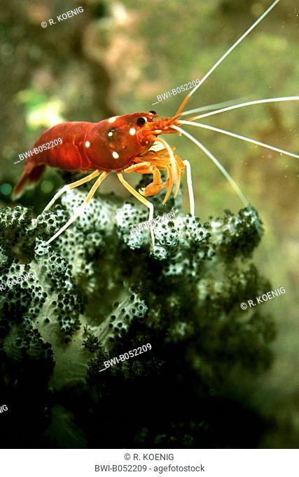 Fire shrimp, Blood shrimp, Scarlet cleaner shrimp (Lysmata debelius), on a coral