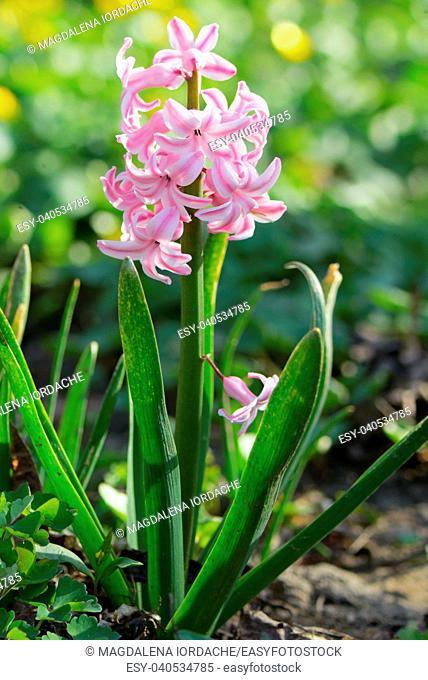 Pink hyacinth flower in spring garden