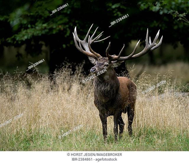 Red deer (Cervus elaphus), stag, Denmark, Europe