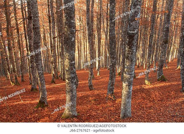 Beech forest in the Sierra de Abodi. Salazar valley. Navarra