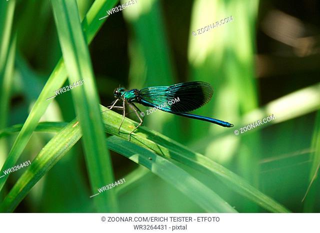 männliche Gebänderte Prachtlibelle (Calopteryx splendens), Weilerswist, Nordrhein-Westfalen, Deutscland
