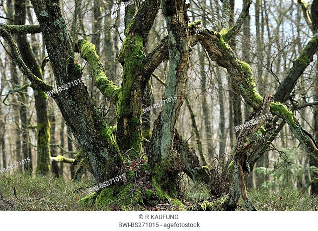 common oak, pedunculate oak, English oak Quercus robur, oak swamp forest near Visbeck in Winter, Germany