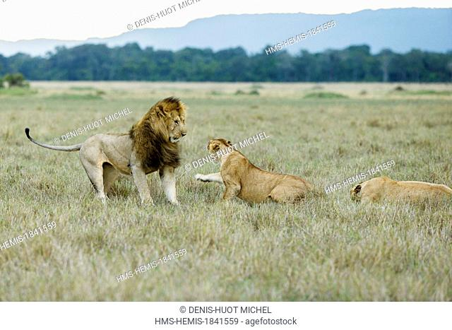 Kenya, Masai-Mara game reserve, Lion (Panthera leo), agressive female against a male