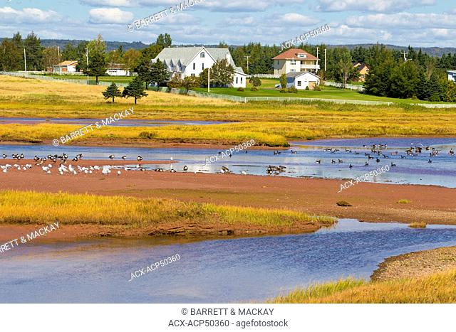 Migrating Canada Geese and Gulls, Hope Town, Gaspe, Quebec, Canada