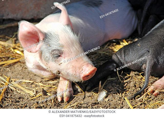 Pigs play and sleep on yard of farm. Pink piglets bask in sun and sleep. Funny pigs. Young baby piglets play in yard