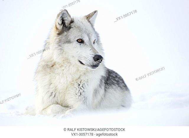 Gray Wolf / Wolf (Canis lupus) in winter, lying, resting in snow, white fur, watching aside, amber golden eyes, captive, Yellowstone area, Montana, USA
