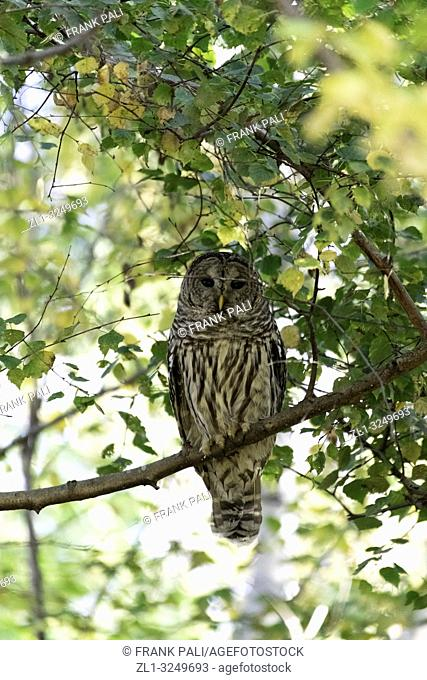 The barred owl (Strix varia), also known as northern barred owl or hoot owl, is a true owl native to eastern North America