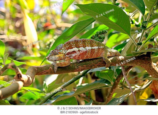 Globe-horned Chameleon (Calumma globifer), male, foraging, Madagascar, Africa
